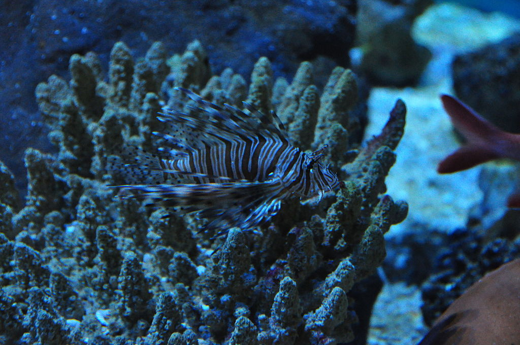 Lionfish in Blue Reef Aquarium Newquay 5814 - Top attractions to visit within an hour of Crantock Bay Apartments